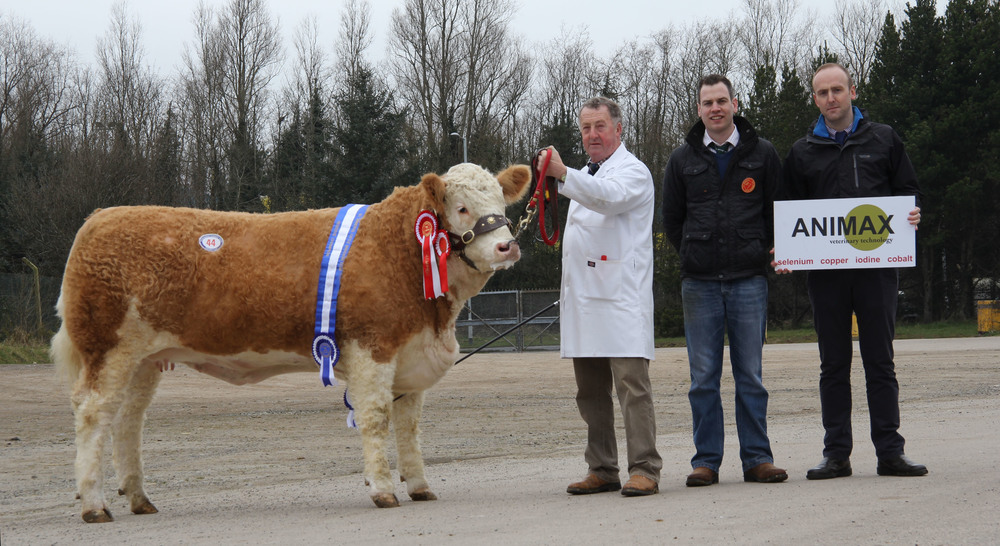 Adrian Richardson's female champion and reserve supreme champion Cleenagh Good Girl attracted a top bid of 5,400gns at the NI Simmental Club's spring show and sale, Dungannon. Adding their congratulations are judge Shane McDonald, Tempo; and sponsor Neill Acheson, Animax.