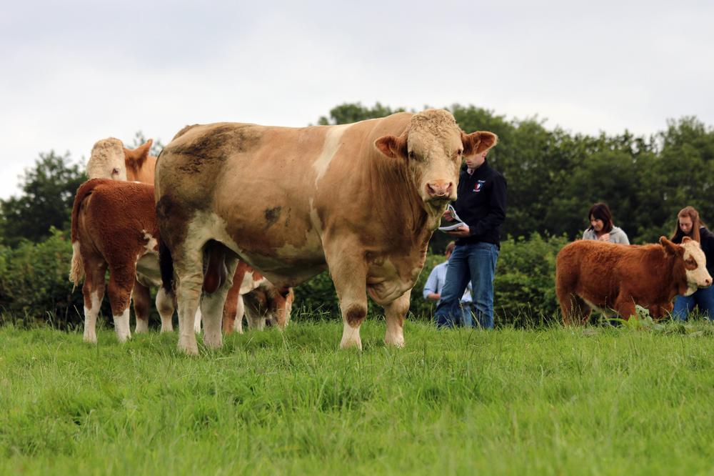 4 bennant stock bull.jpg