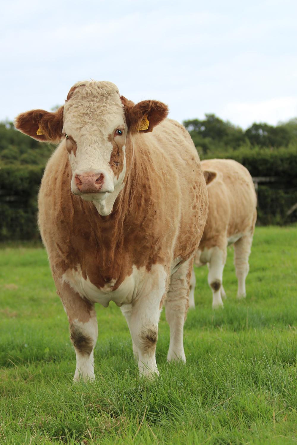 9 bennant heifer.jpg