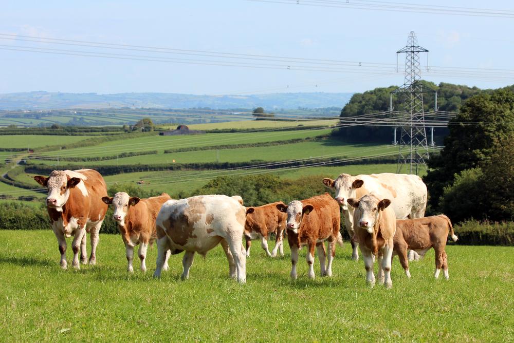 51 gerawil cows.jpg
