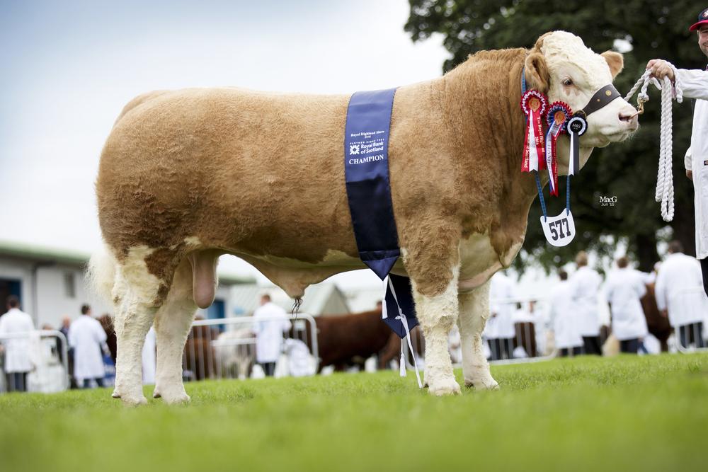 577-Champ-Junior-Beef-Inter-Corskie-Gingersnap-8473.jpg