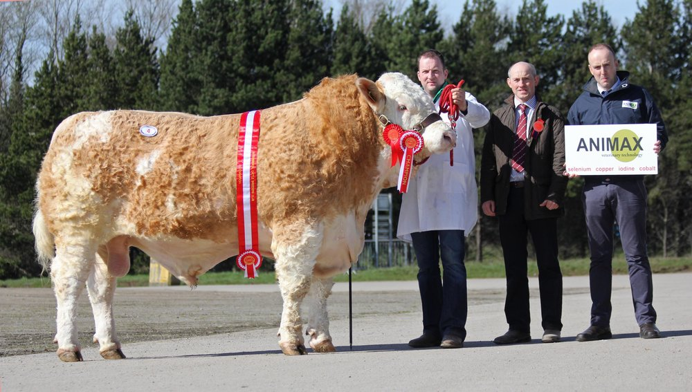 Male and supreme overall champion at the NI Simmental Club's spring show and sale in Dungannon was Ranfurly Goodfellow shown by Jonny Hazelton, Dungannon. Included are judge Frank Kelly, Tempo; and sponsor Neill Acheson, Animax.