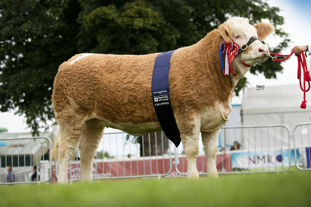 sm-518-Simmental-Champion-Kennox-Taras-Gem-3790.jpg