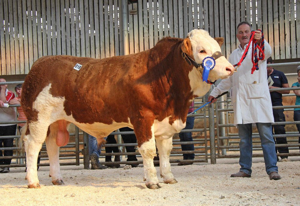 Kenneth Veitch, Lisbellaw, exhibited the reserve male and reserve supreme champion Drumlone Inmate sold for a top price of 3,100gns at the NI Simmental Club's evening show and sale in Ballymena.