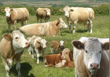 cornwall simmental club.jpg
