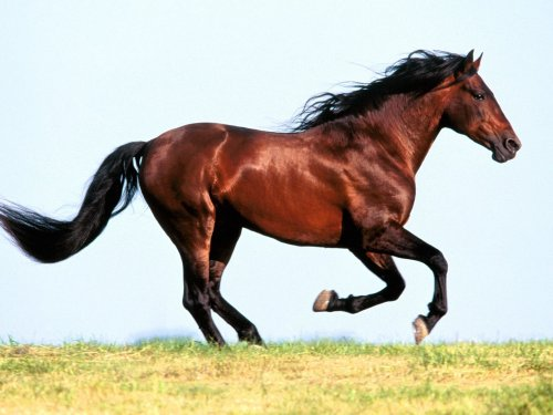 brown_horse_running.jpg