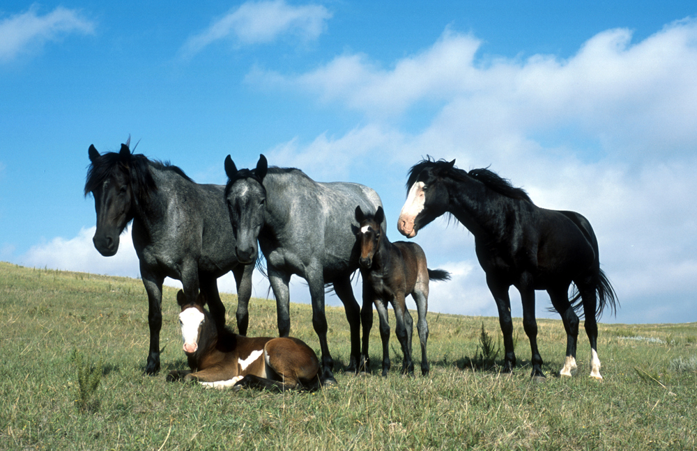 Nokota_Horse_Stud_Band.jpg