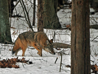 eastern-coyote.jpg