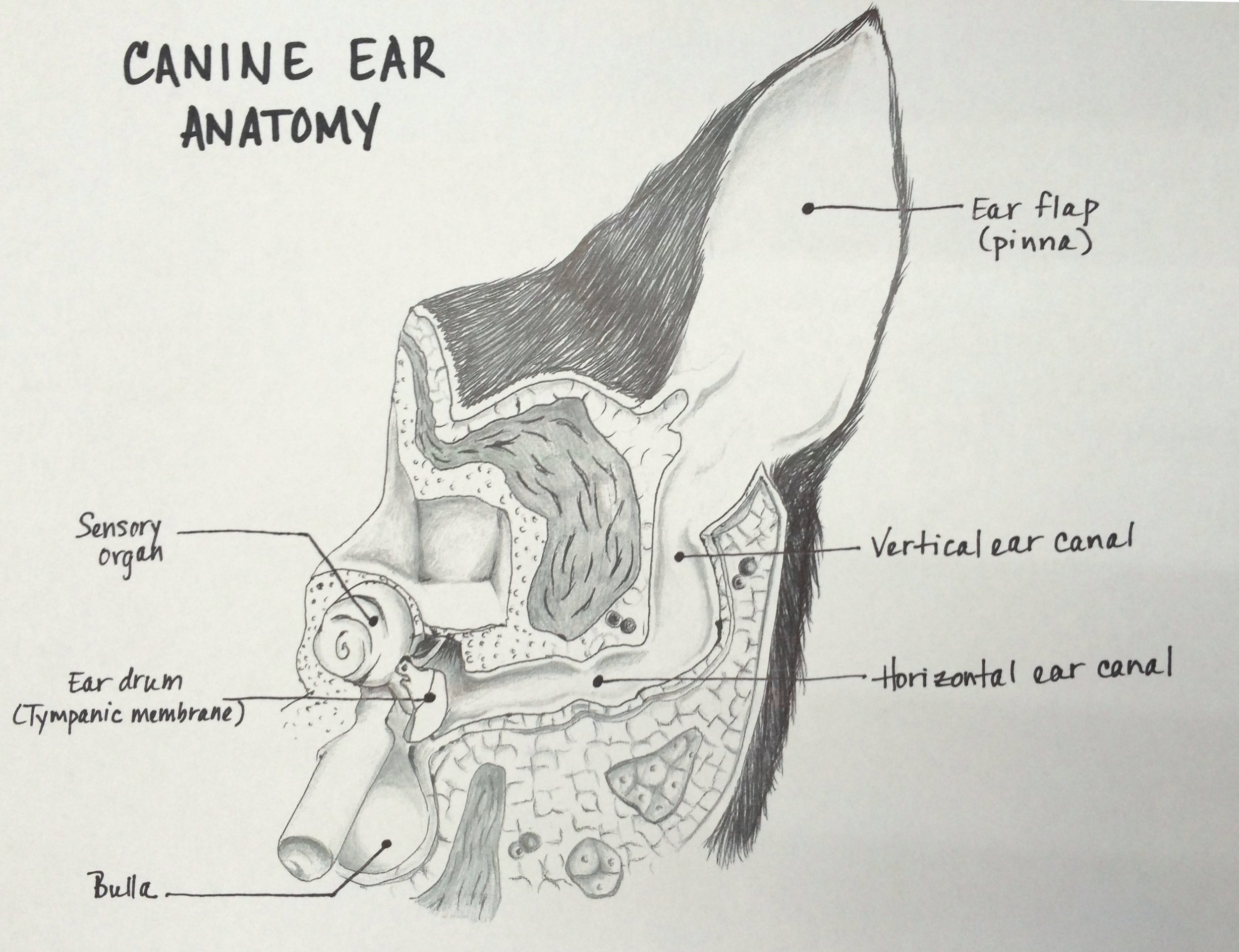 Chronic Ear Infections and Total Ear Canal Ablation — Veterinary ...