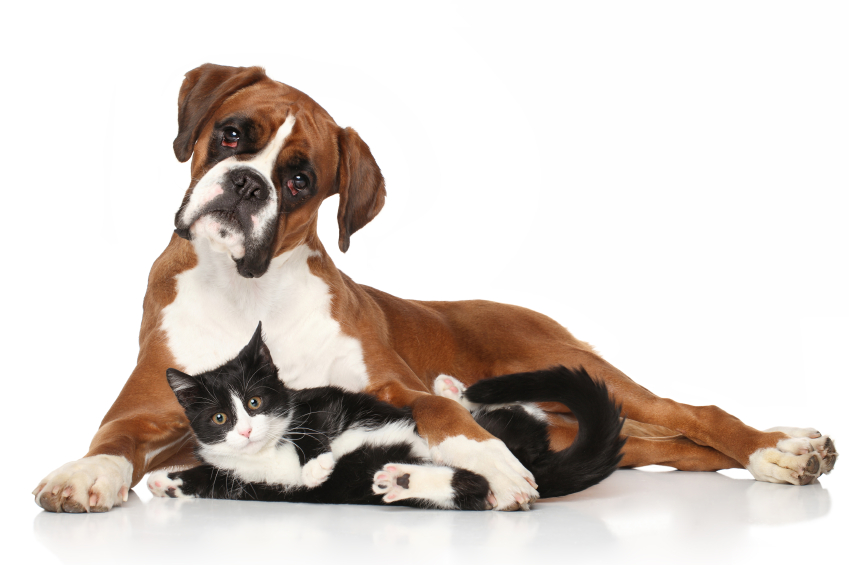 Boxer and cat.jpg
