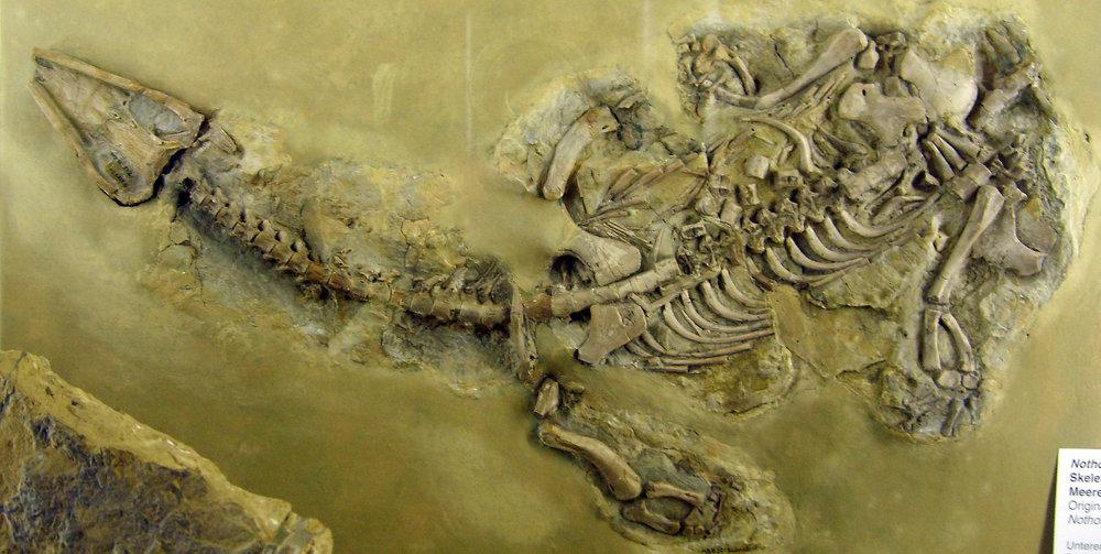 Nothosaurus.jpg