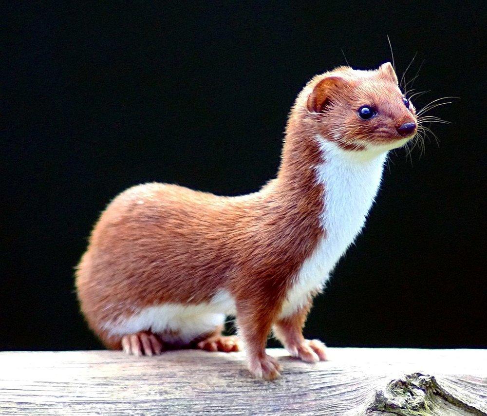 1200px-Mustela_nivalis_-British_Wildlife_Centre-4.jpg
