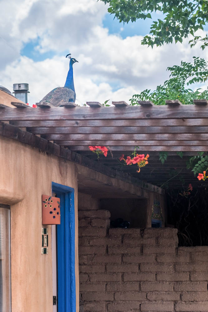 - The colors of New Mexico are vibrant, reflecting the earth, sky and sun.  Luckily for us, even this peacock understands the dress code before flying up to the Casita roof.