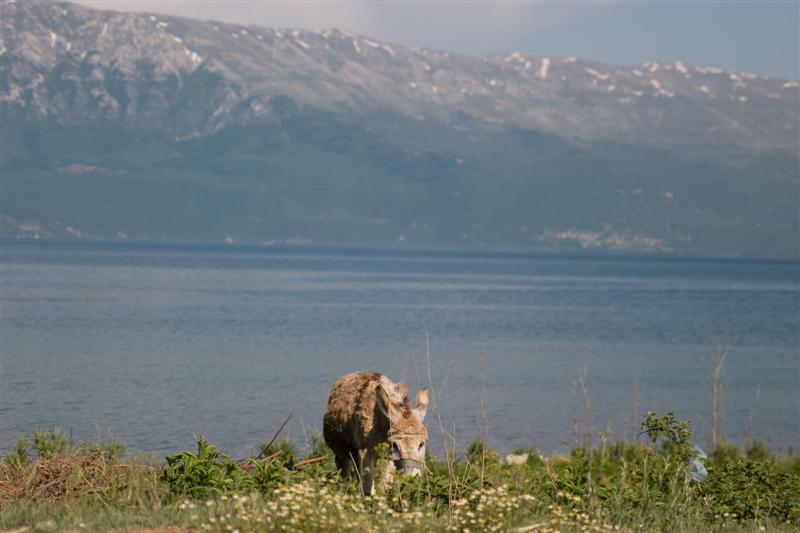 donkey near Pogradec