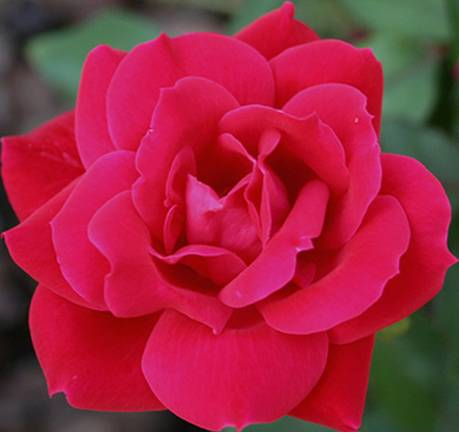 Knockout_Rose_Double_Red.jpg