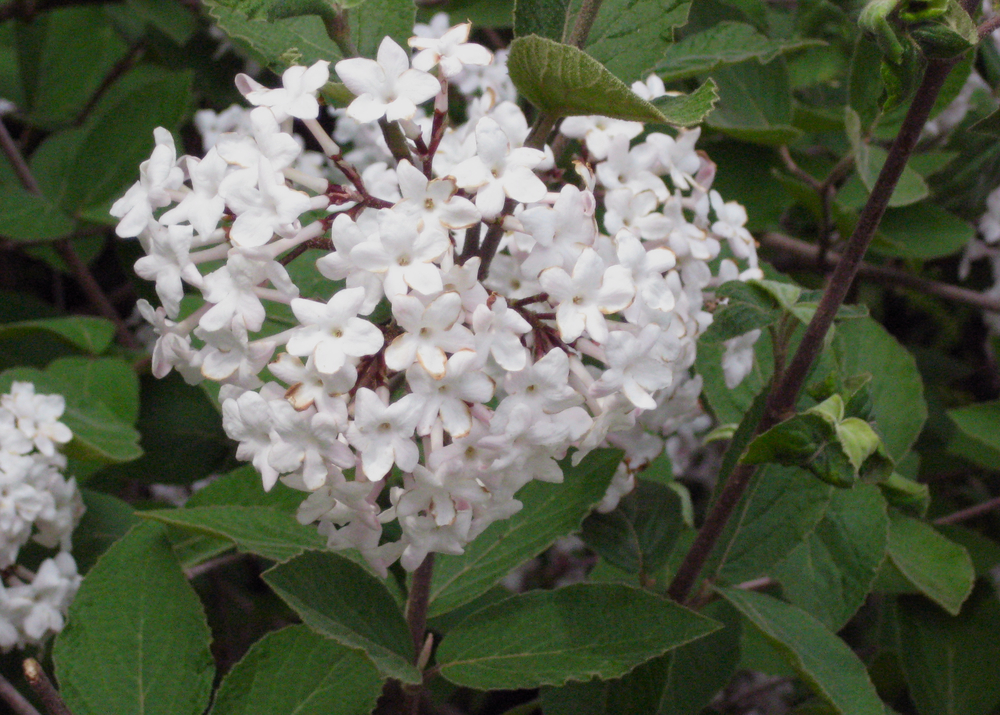 korean-spice-viburnum-closeup.jpg