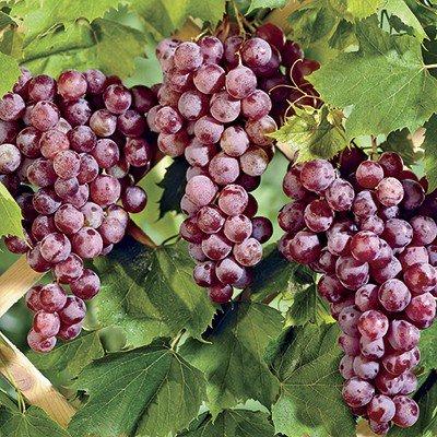 reliance-seedless-grape.jpg