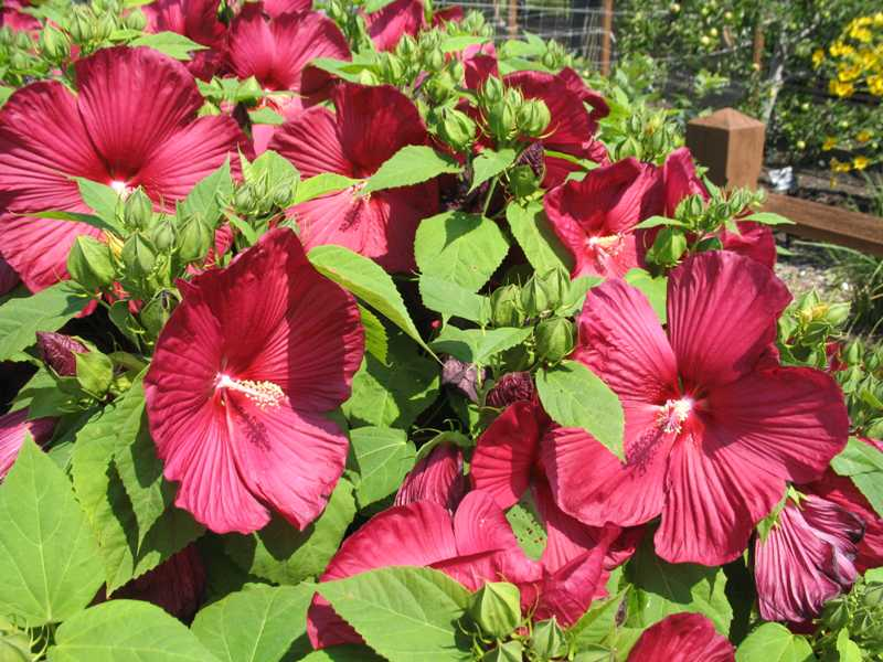 Summer Bloom Hardy Hibiscus Modern Homestead