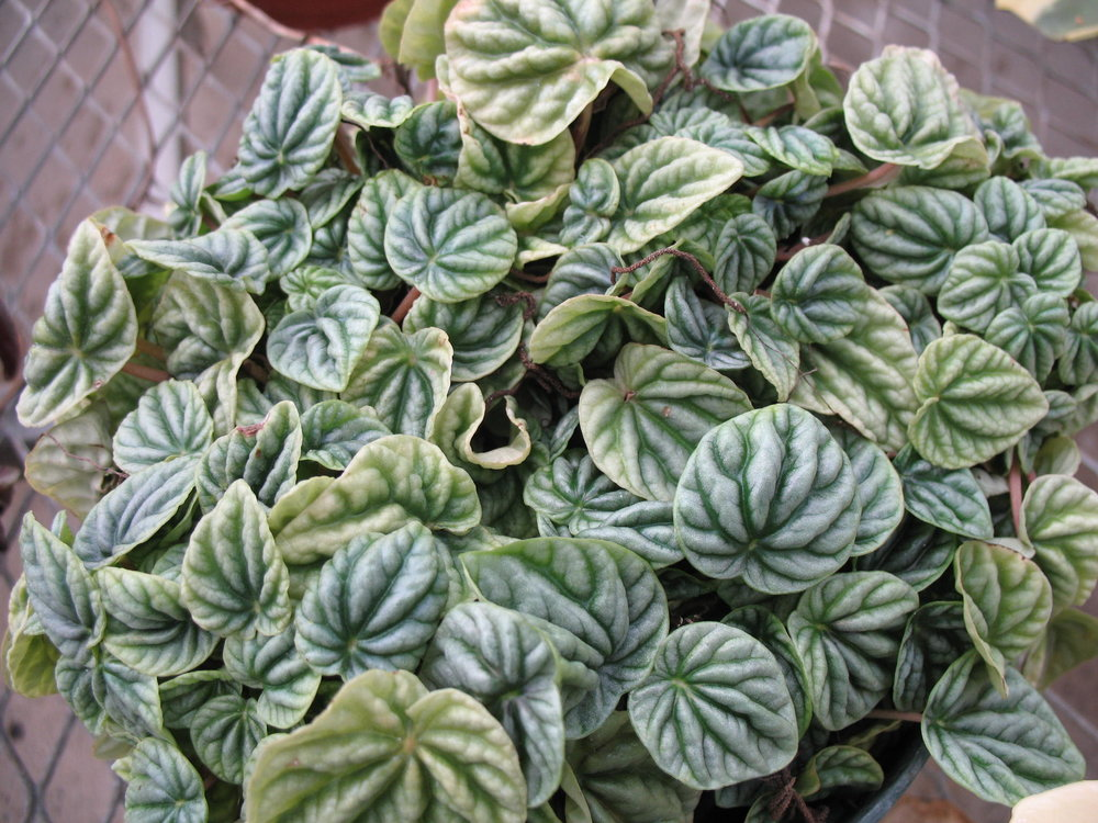 Ripple Peperomia Is A Tropical Plant That Only Grows Outdoors In The  Frost Free Areas Of U.S. Department Of Agriculture Plant Hardiness Zones 9b  To 11a, ...