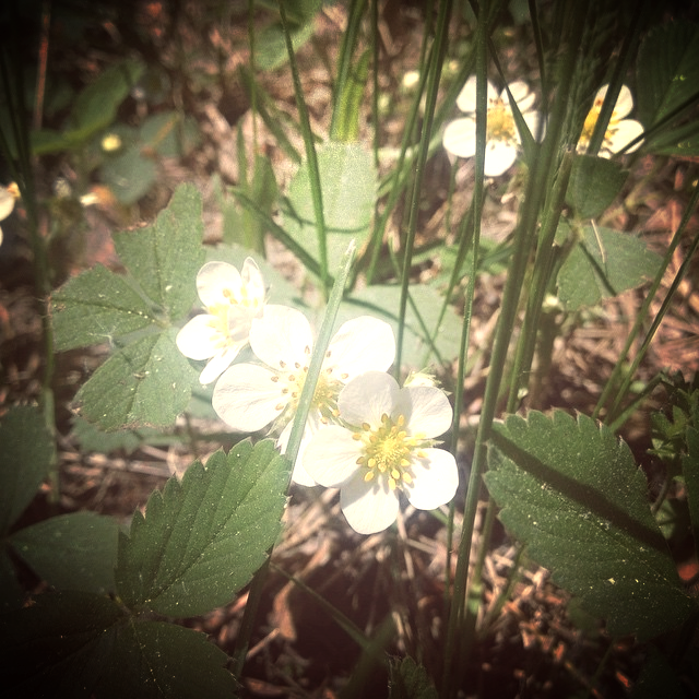 Dainty wild strawberry - a delicious spring surprise on the edge of our forest and a great addition to powdered cleansers.