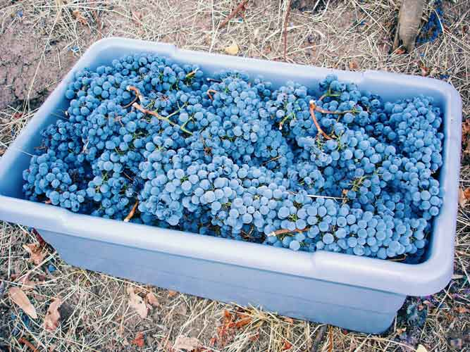 wing-canyon-vineyard-harvest-500.jpg