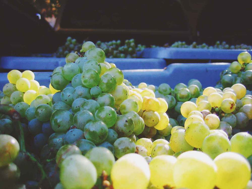 chardonnay-grapes-close-up-web.jpg