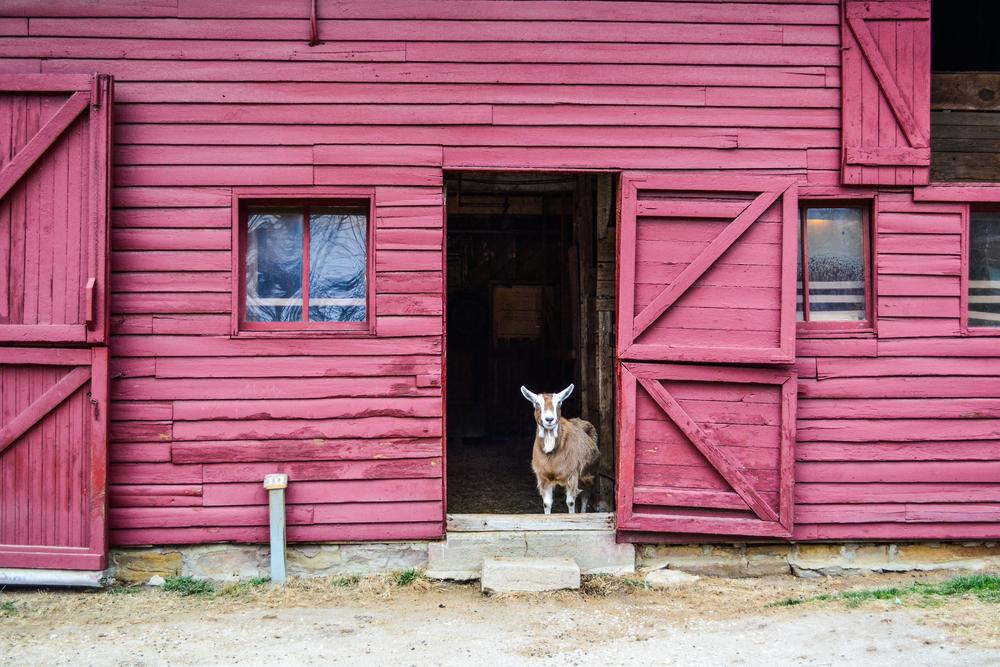 Sandburg's Goat