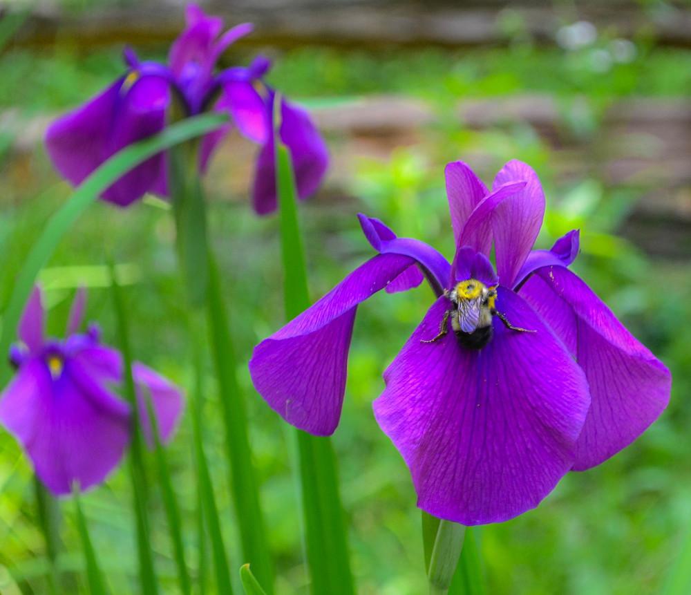 Iris Bliss