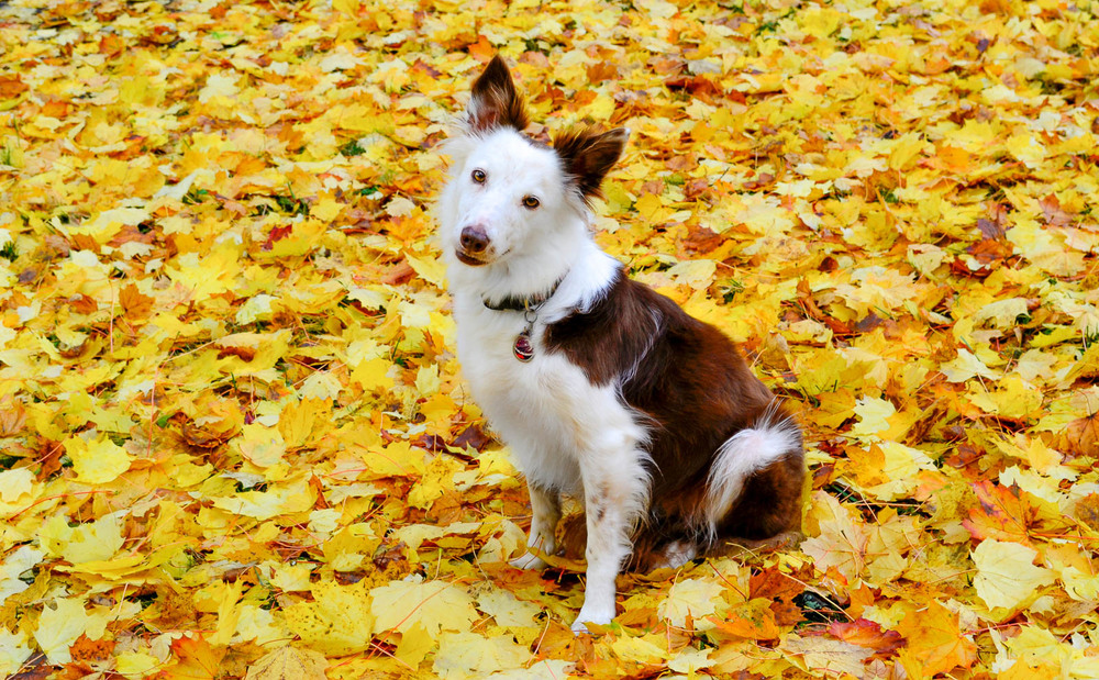 Autumn Dog