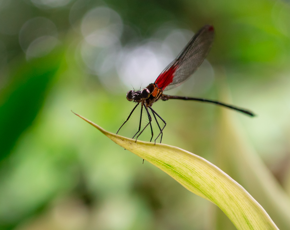 Dot Winged Rubyspot Dragonfly