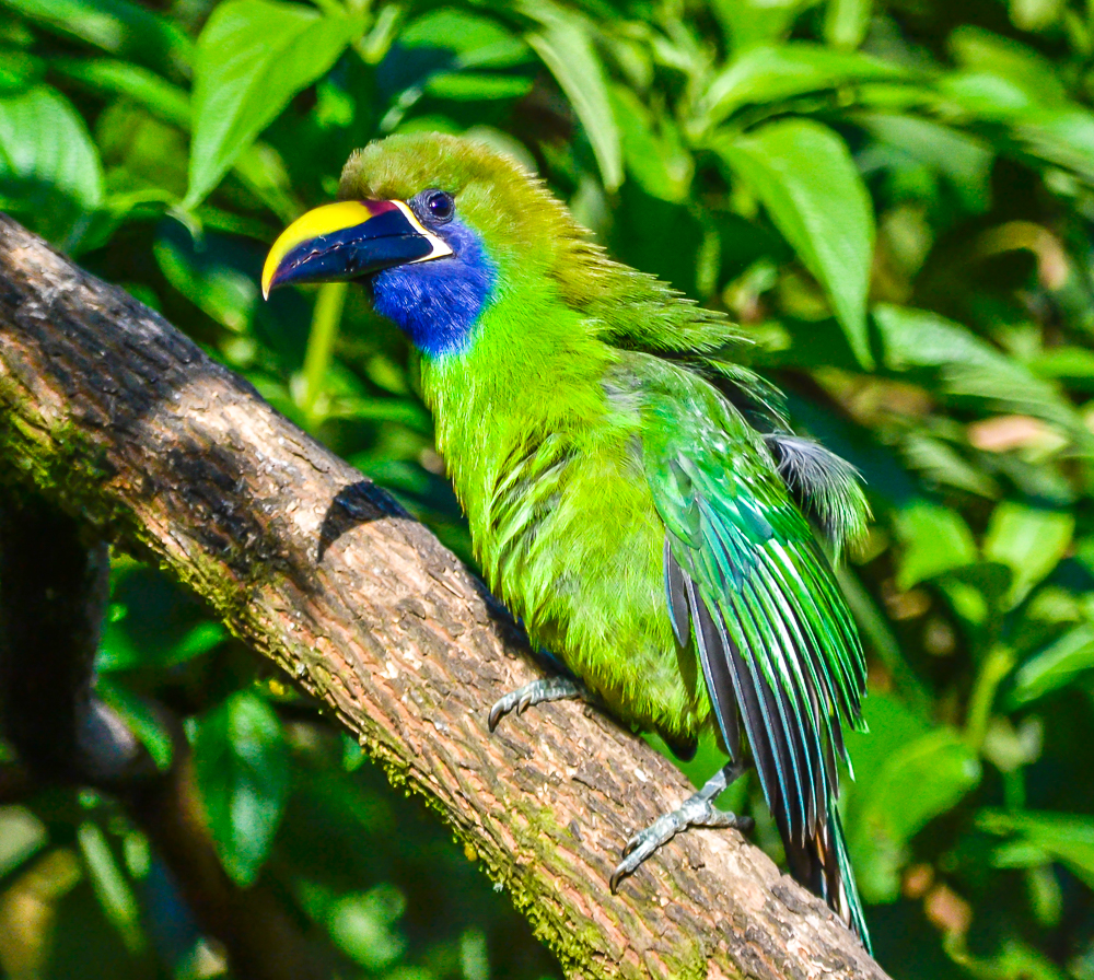Emerald (Blue-throated) Toucanet
