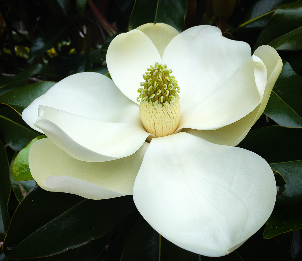 Magnolia Bliss
