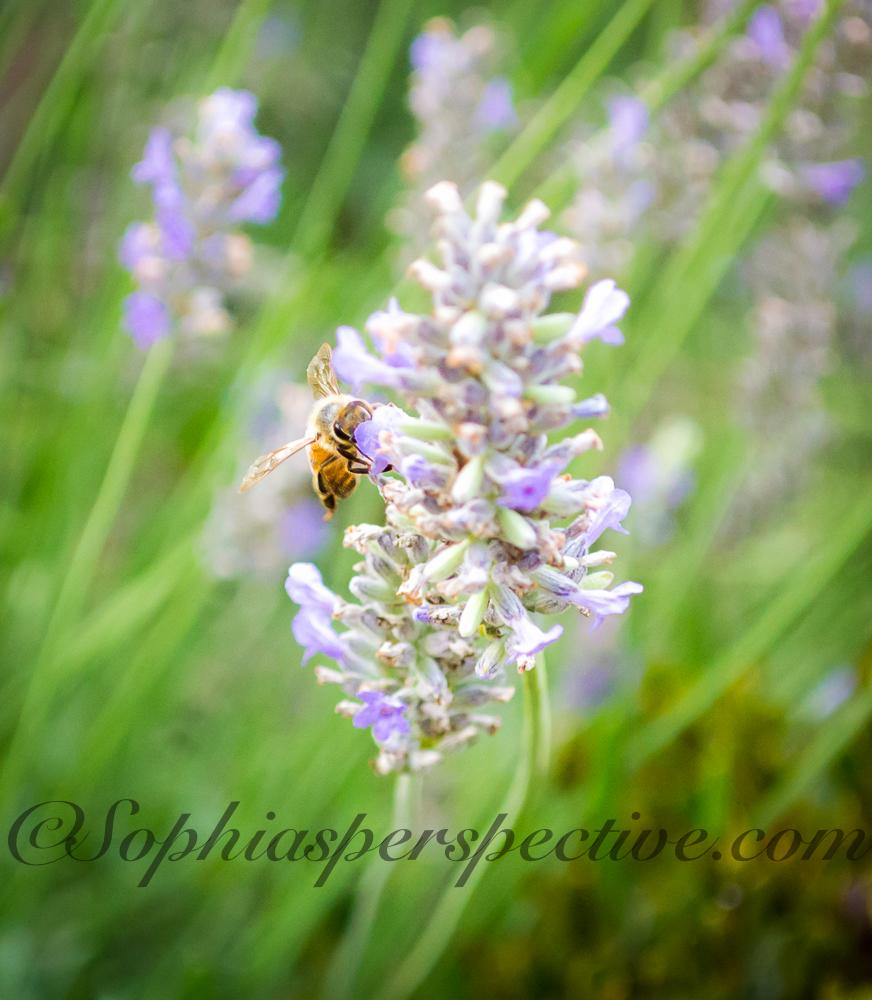Lavender High