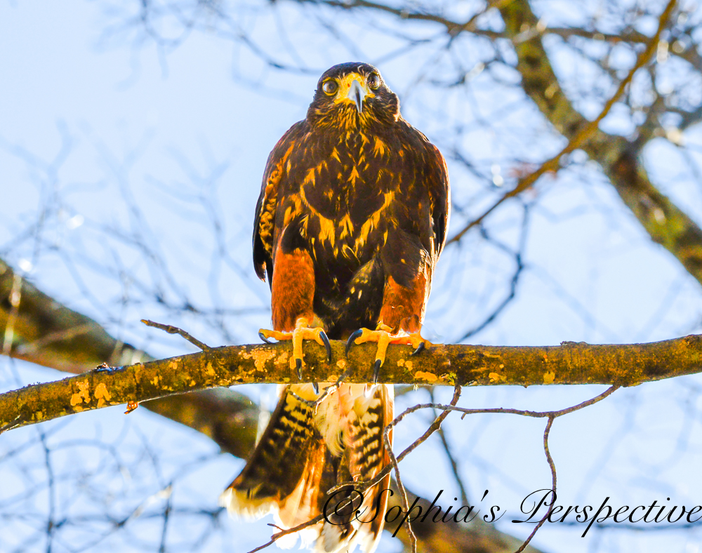 harris hawk on limb fb.jpg