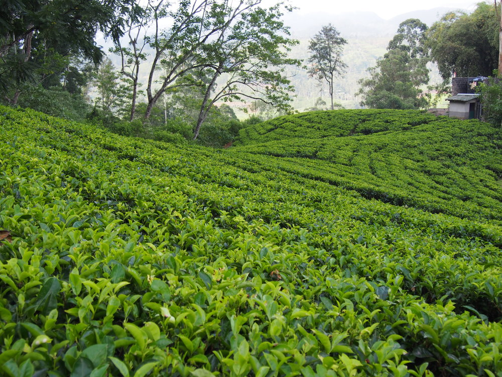 Sri Lankan tea plantation