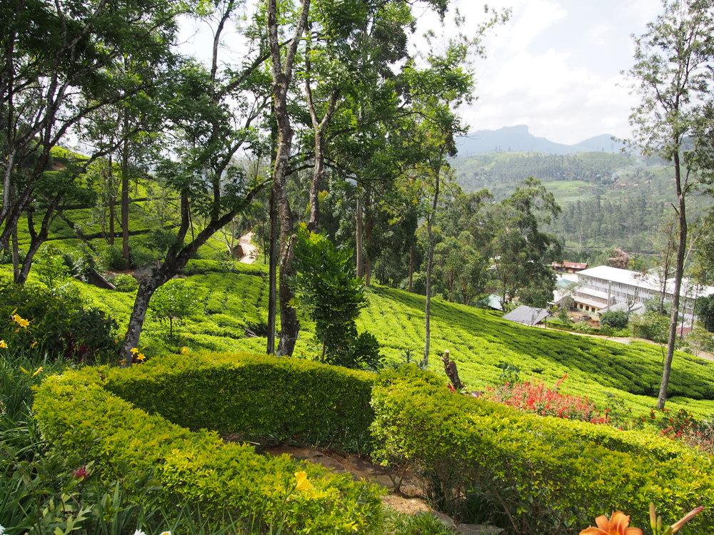 Rolling tea fields