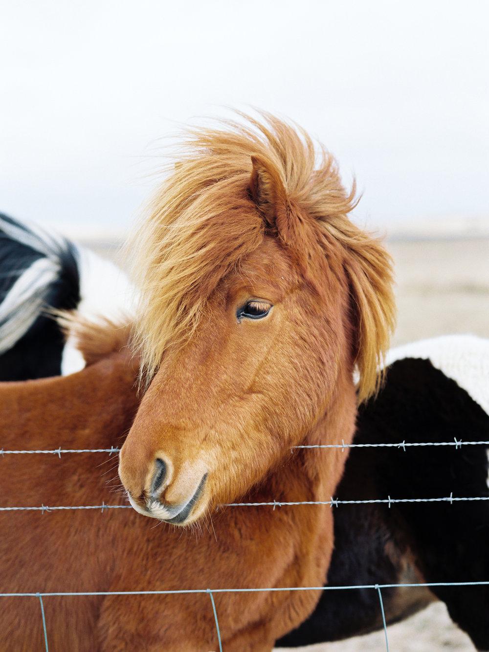 iceland icelandic horse windy mane chestnut color.jpg