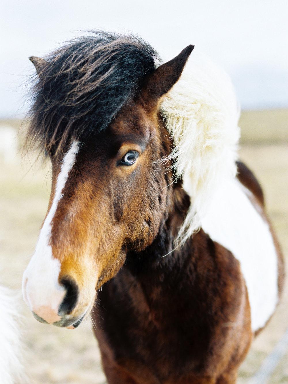 iceland icelandic horse blue eye reykjavik horse.jpg