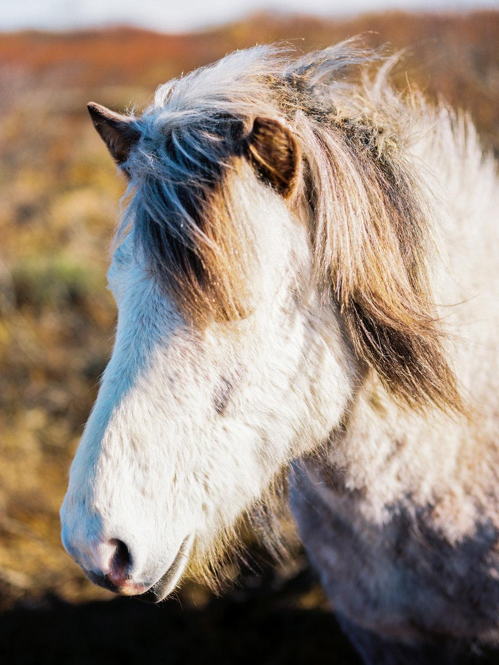 iceland icelandic horse ektar kodak film.jpg