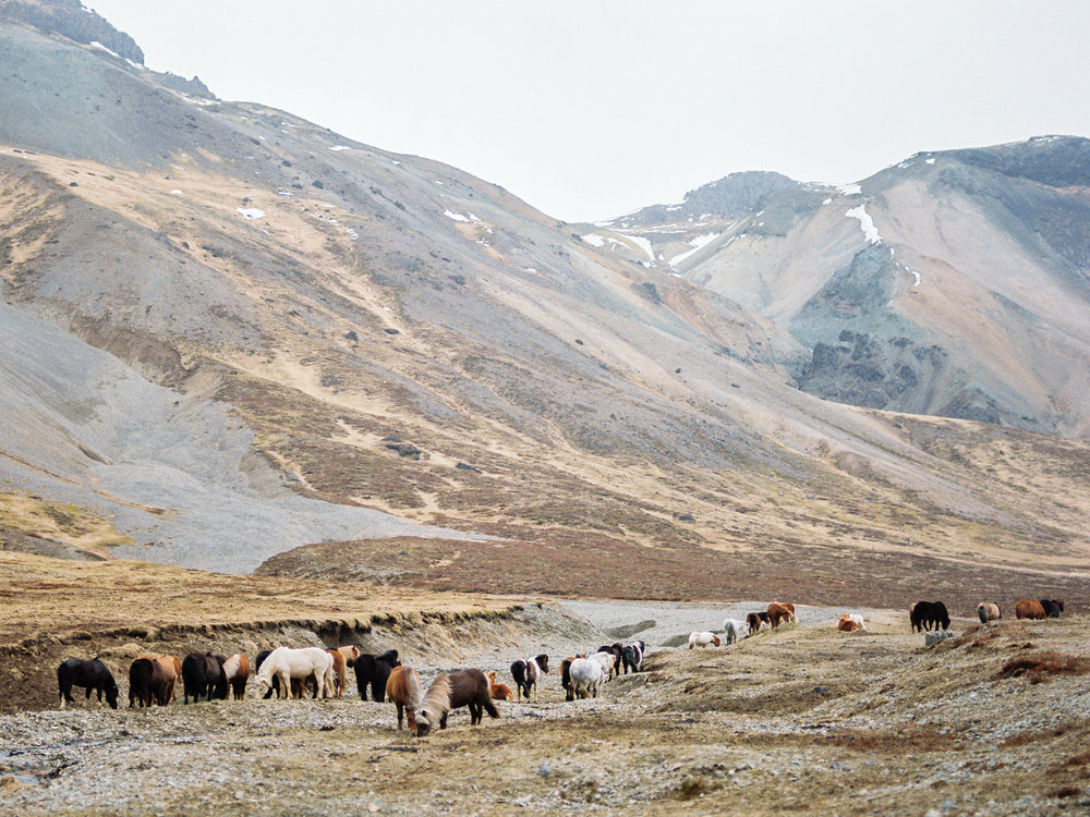 iceland icelandic horse herd kodak film.jpg