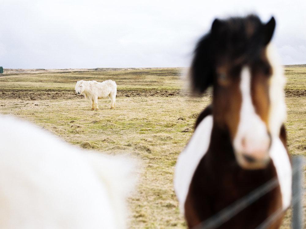 iceland icelandic horses kodak film.jpg