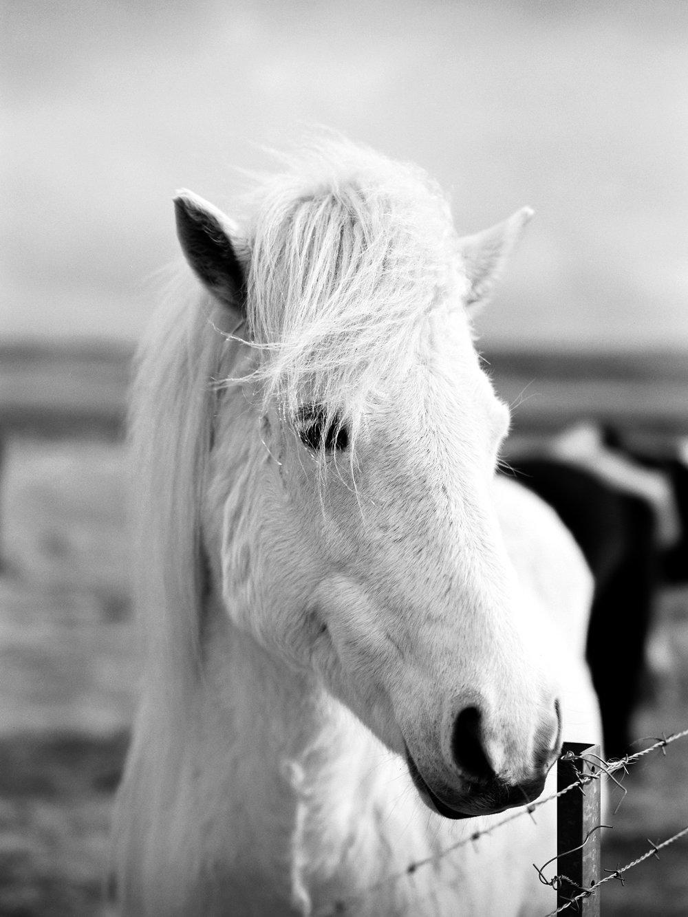 iceland icelandic horse black and white film.jpg