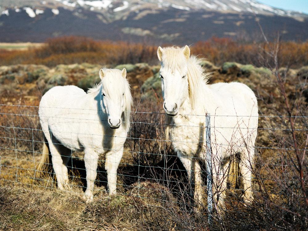 white icelandic horses.jpg