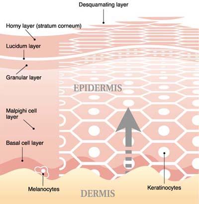epidermis skin