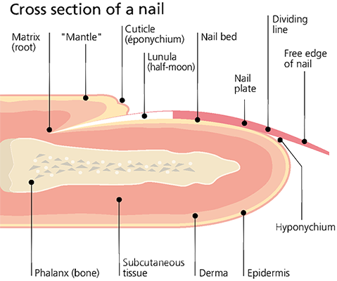 Nail cross section.png