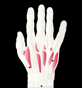muscles tendons hands