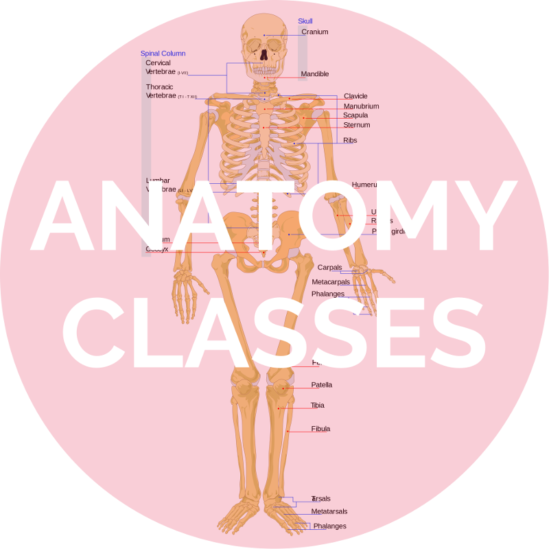 Anatomy Classes.png