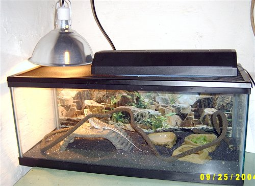 Heat lamp at basking zone and strip UVB lamp are essential in creating the perfect home for your beardie.