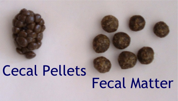 Normal bunny droppings: Cecal pellets/cecotrophs/night poos which are rich in vitamins and should be ingested by your bun. Fecal matter which are firm and solid and should be big and round.