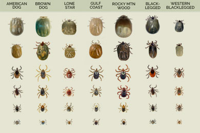 different types of ticks at their different life stages